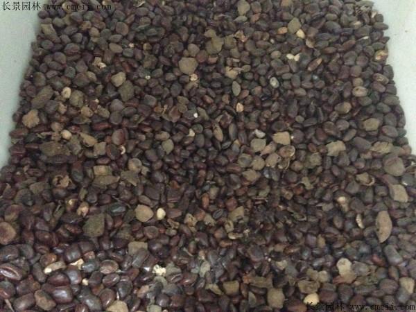 酸角种子图片
