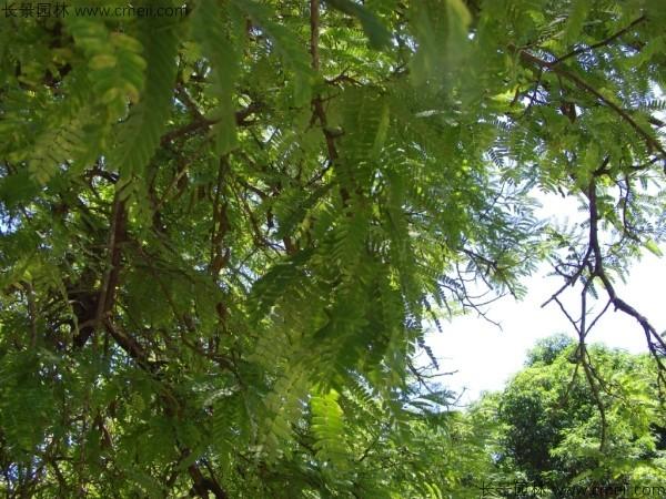 酸角种子发芽出苗图片