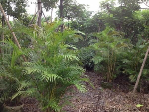 散尾葵种子发芽出苗图片