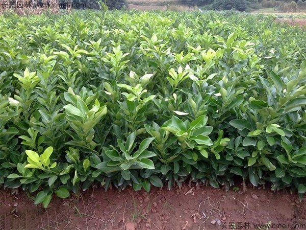 柚子树种子发芽出苗图片