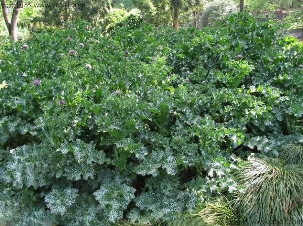 水飞蓟种子发芽出苗开花图片