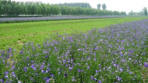 铃铛花种子发芽出苗开花图片