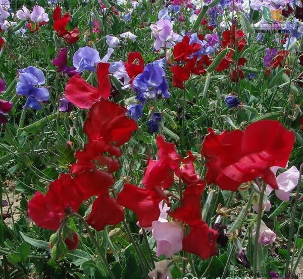 香豌豆种子发芽出苗开花图片