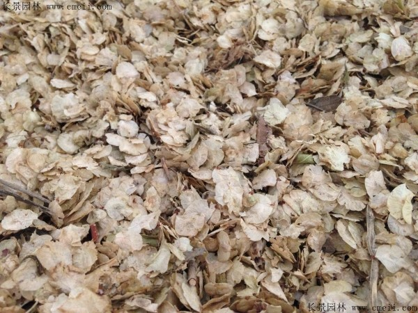 榆树种子图片