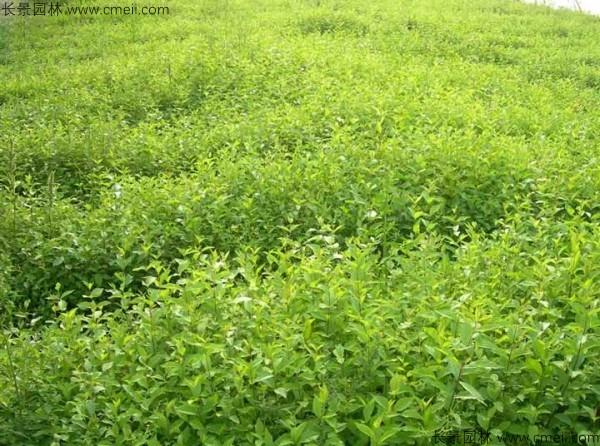 榆树种子发芽出苗图片