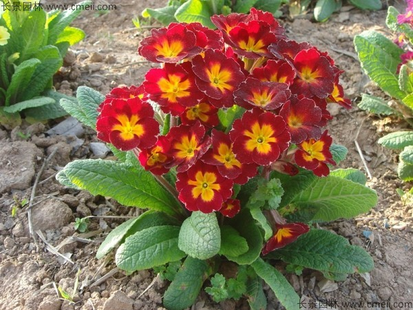 重瓣报春花草花籽多少钱一斤