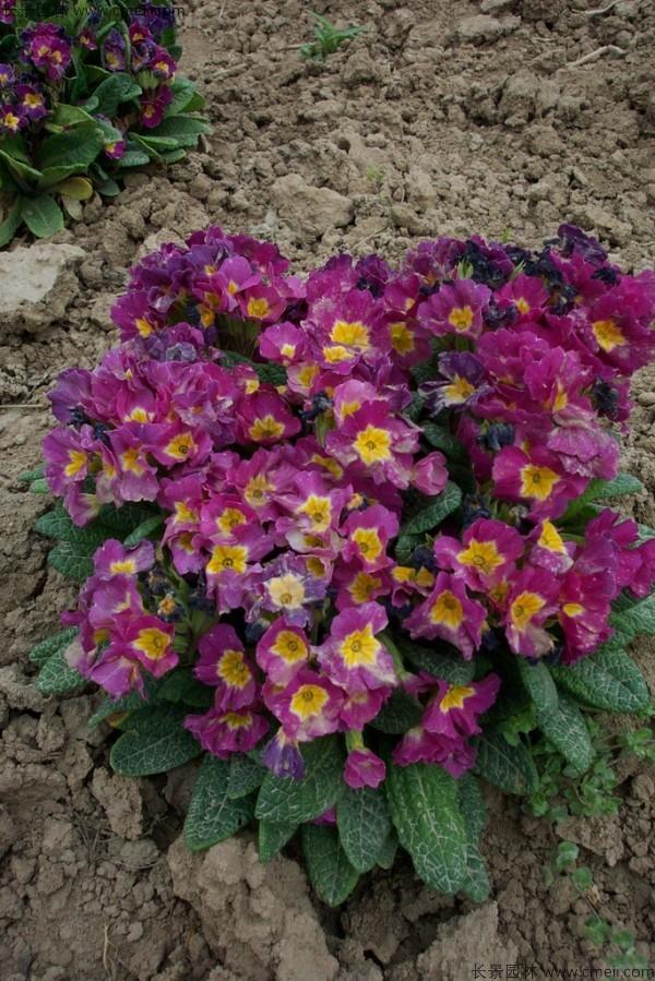 重瓣报春花早春可以播种吗