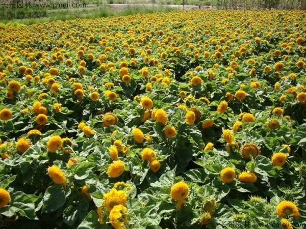 矮向日葵种子发芽出苗开花图片