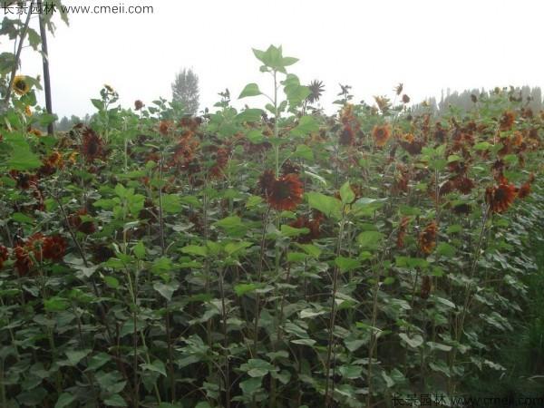 彩色向日葵种子发芽出苗开花图片
