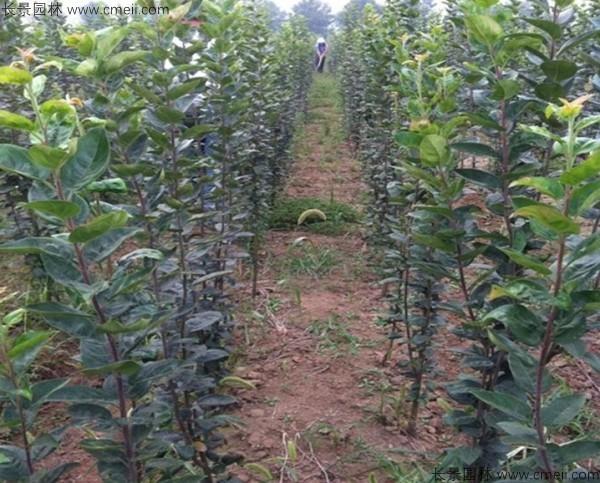 杜梨种子发芽出苗图片