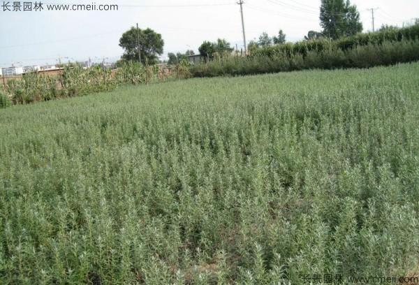 刺柳种子发芽出苗图片
