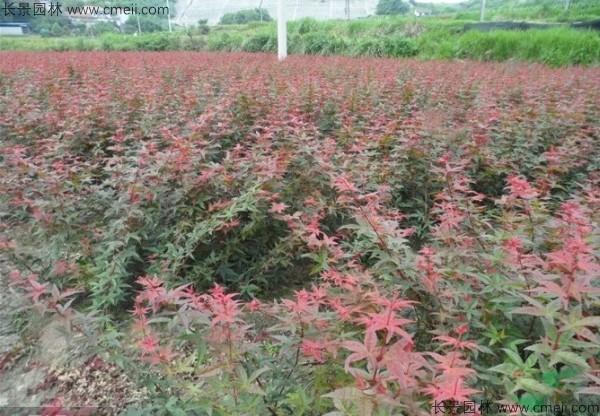 日本红枫种子发芽出苗图片