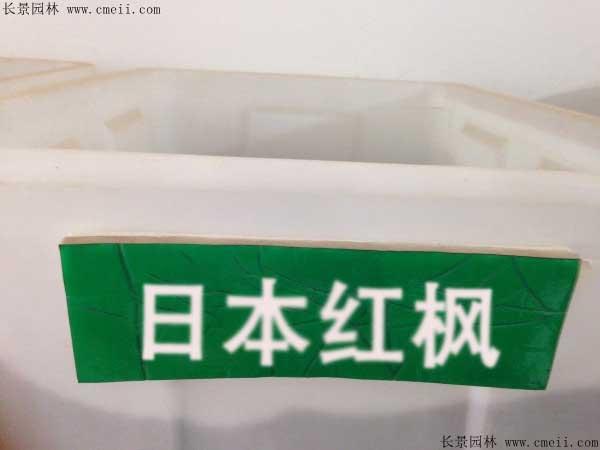 日本红枫种子图片