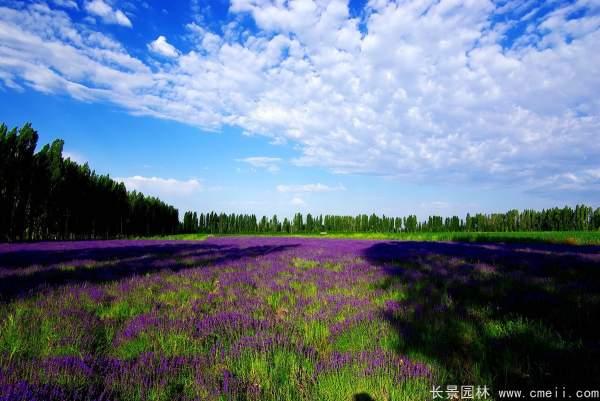 薰衣草种子发芽出苗开花图片