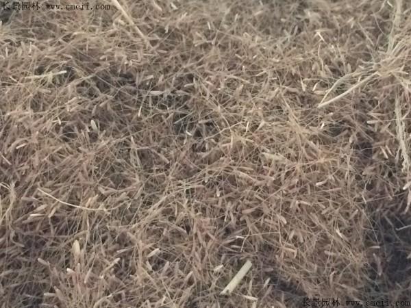 粉黛乱子草种子图片
