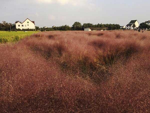粉黛乱子草种子发芽出苗图片