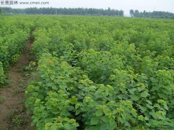 乌桕种子发芽出苗图片
