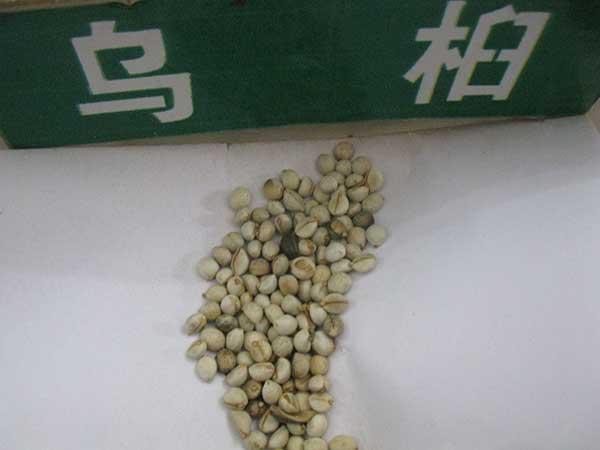 乌桕种子图片