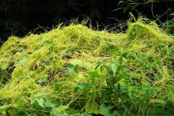 无根草种子发芽出苗图片