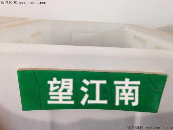 望江南种子图片
