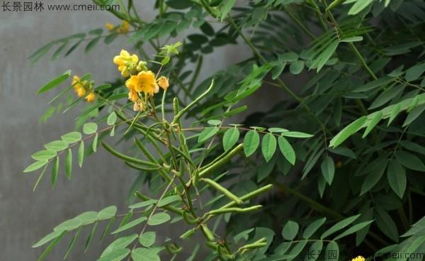 望江南种子发芽出苗图片
