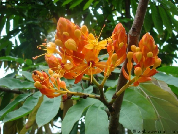 无忧树种子发芽出苗开花图片
