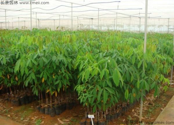 橡胶树种子发芽出苗图片