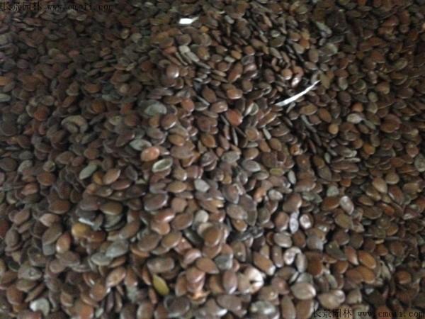 银合欢种子图片