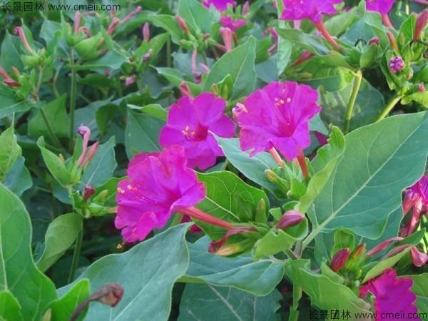 野茉莉种子发芽出苗开花图片
