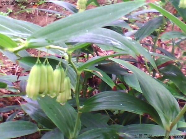玉竹种子发芽出苗图片