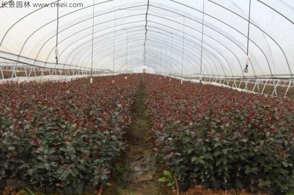 红花紫薇种子发芽出苗图片
