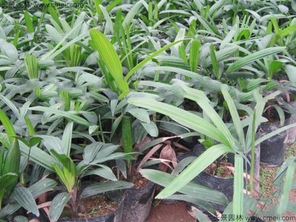 棕竹种子发芽出苗图片