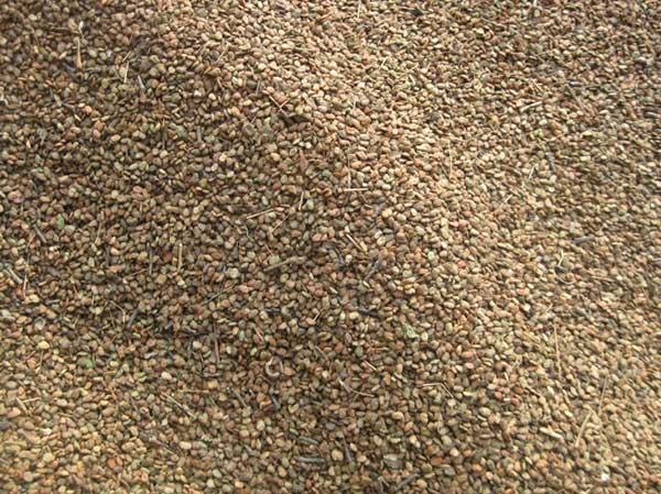 红栌种子图片