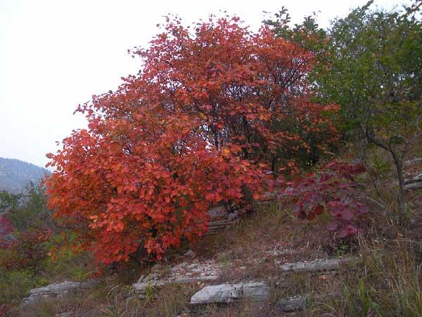 红栌种子发芽出苗图片
