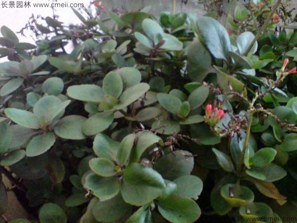长寿花种子发芽出苗图片