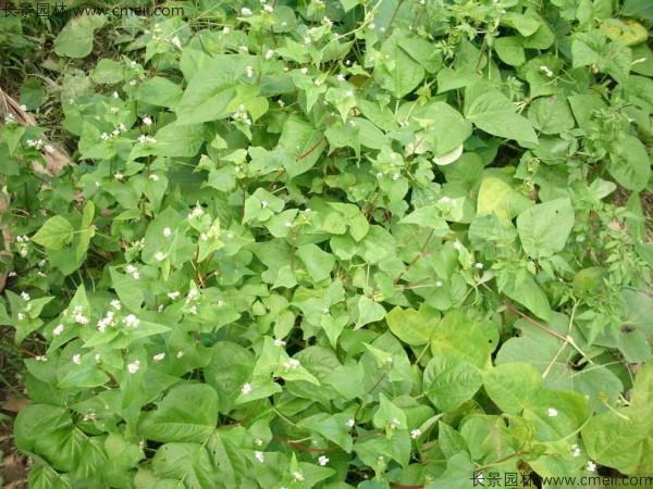黑苦荞种子发芽出苗图片