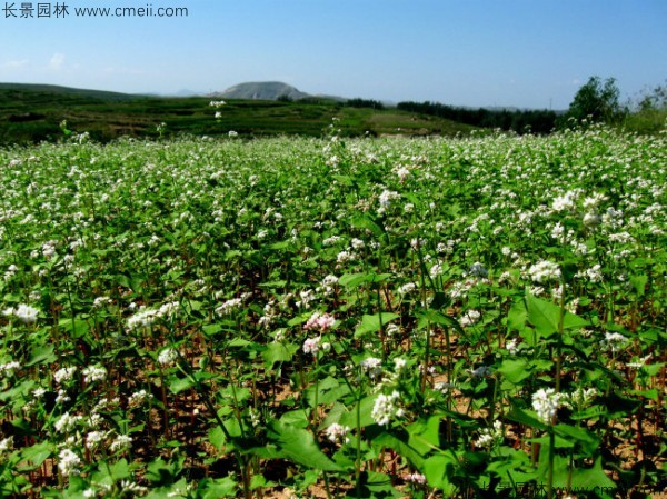黑苦荞种子发芽出苗开花图片
