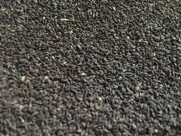 石蒜种子图片