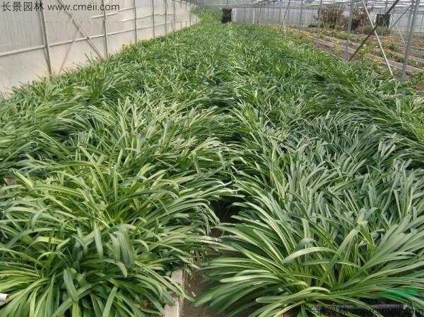 石蒜种子发芽出苗开花图片