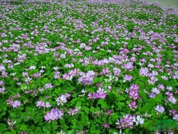 红花酢浆草种子发芽出苗开花图片