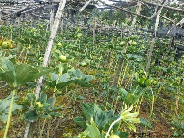 独角莲种子发芽出苗图片