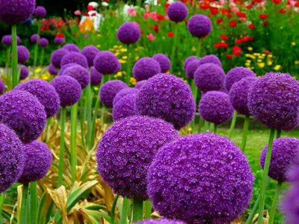 大花葱种子发芽出苗开花图片