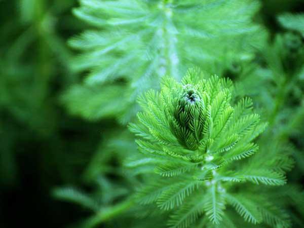 金鱼藻种子发芽出苗图片