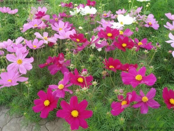 格桑花种子发芽出苗开花图片
