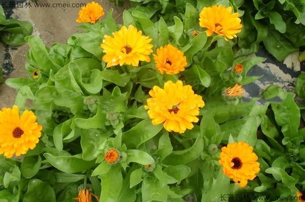 黄金菊种子发芽出苗开花图片