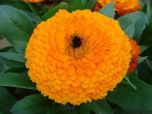 南方黄金菊什么时候种植