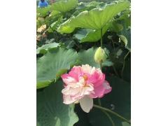 植物天然荷花开花图片_花朵种子