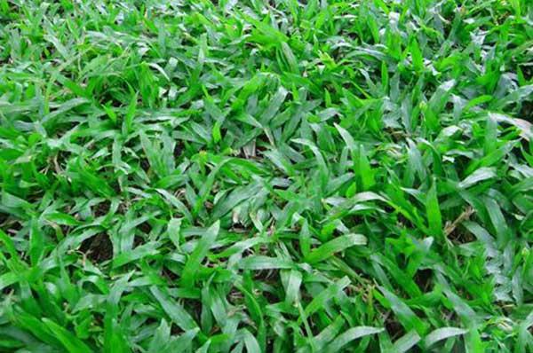云南大叶油草坪