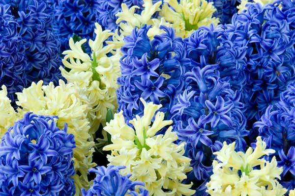 风信子花开花图片