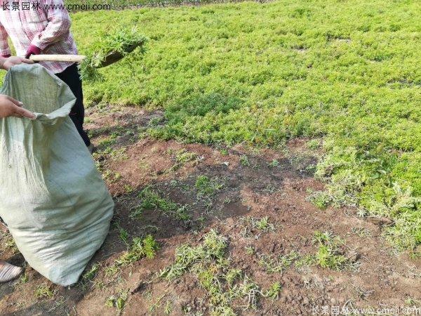 佛甲草起苗挖苗现场实拍图片